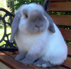 30 Mini Lop Rabbits for Sale Richmond, VA | Rabbits for Sale