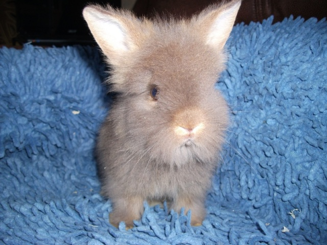 14 Lionhead Rabbits for Sale Richmond, VA | Rabbits for Sale