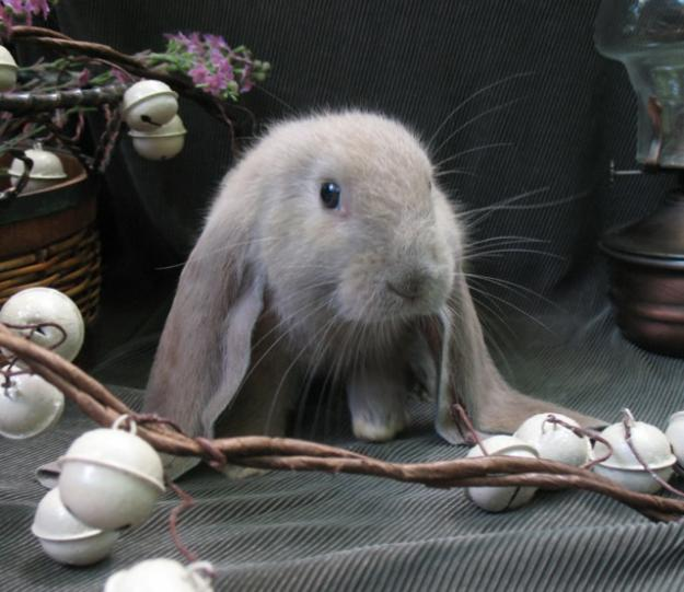 10 English Lop Bunnies for Sale Richmond, Virginia | Rabbits