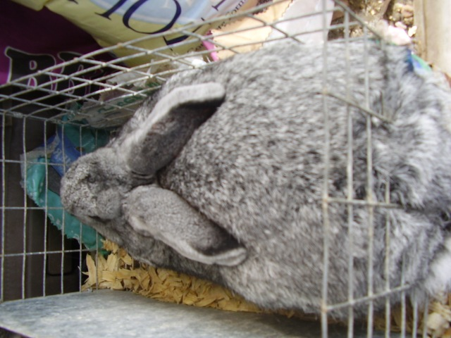 Giant Chinchilla Rabbits