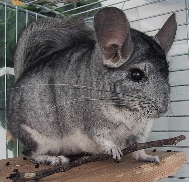 Standard Chinchilla Rabbits