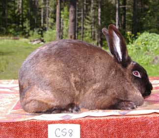 American Sable Rabbits