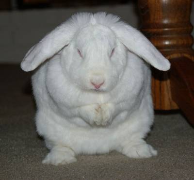 4 French Lop Rabbits for Sale in Richmond, VA | Rabbits for