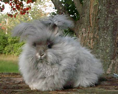 28 English Angora Bunnies for Sale Richmond, Virginia