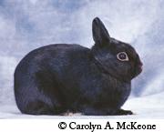 Britannia Petite Rabbits
