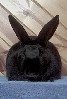 Beveren Rabbits