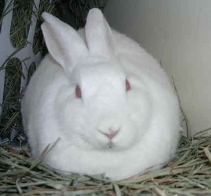 Florida White Rabbits