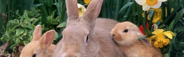 Palomino Rabbits