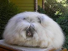 Giant Angora Rabbits